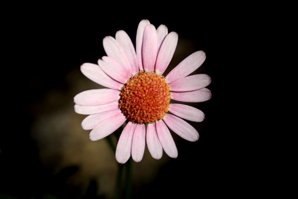 Marguerite Daisy (flower)