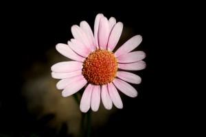Argyranthemum x hybrid