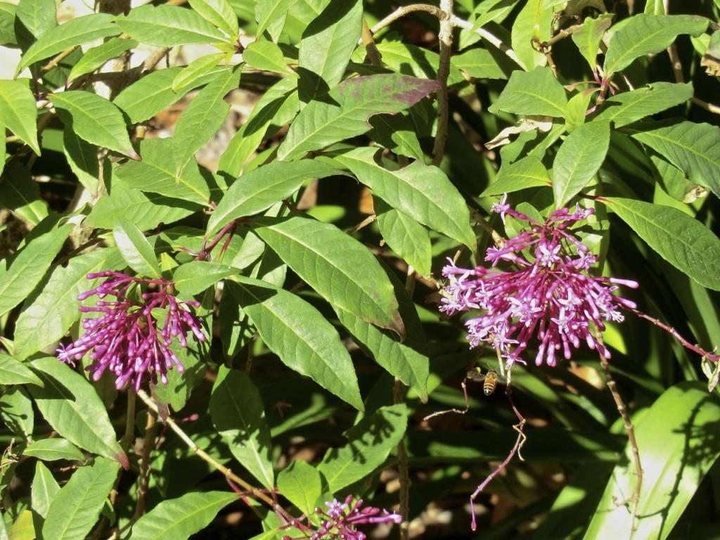 Lilac Fuchsia (plant)