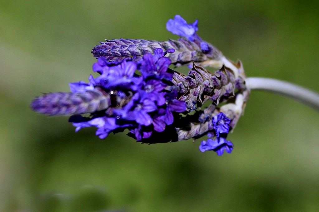 Lavender, Fern leaf (flower)