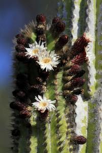 Pachycereus pringlei