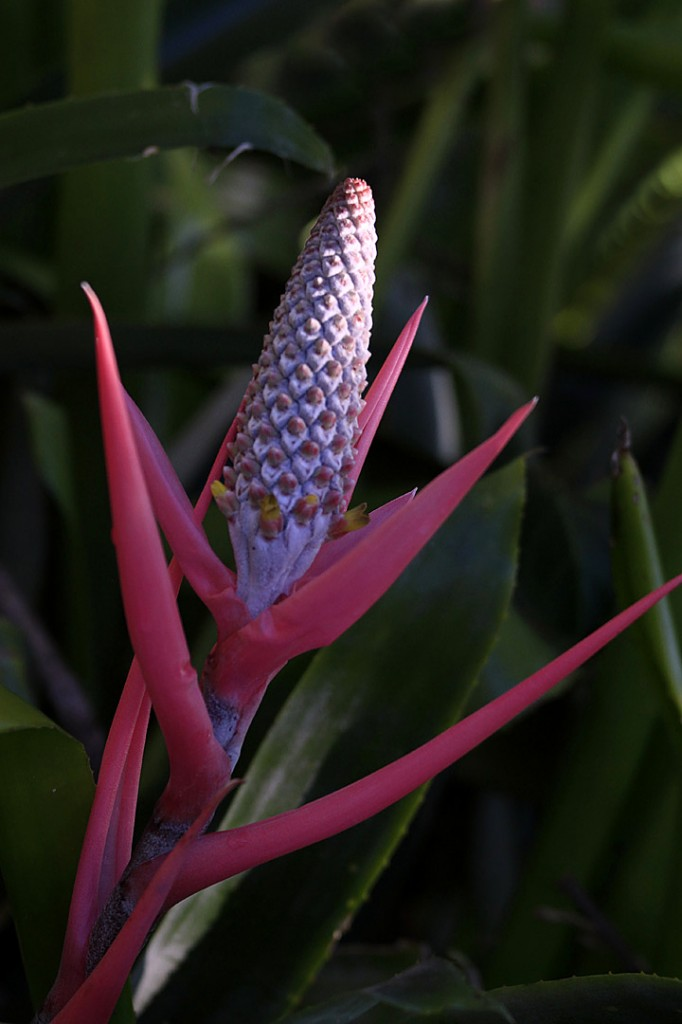Red Bromeliad (flower)