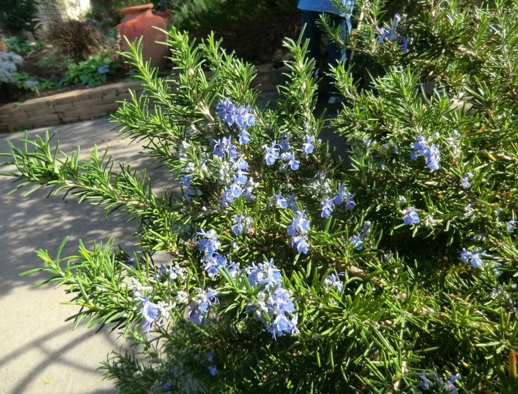 Rosemary (plant)