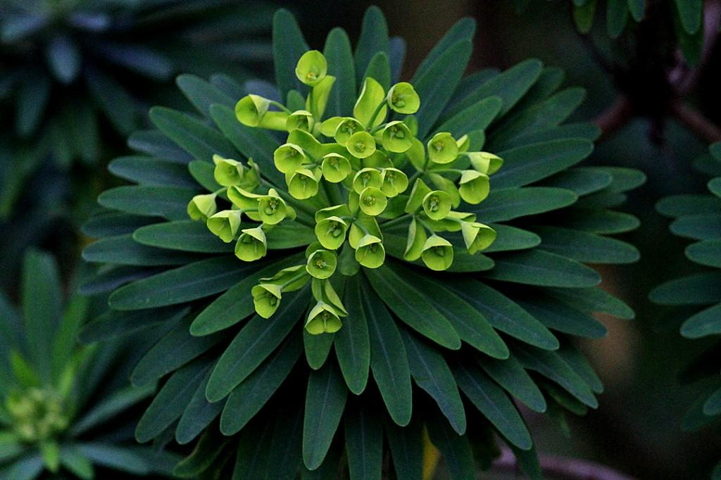 Spurge, Wulfenii (plant)