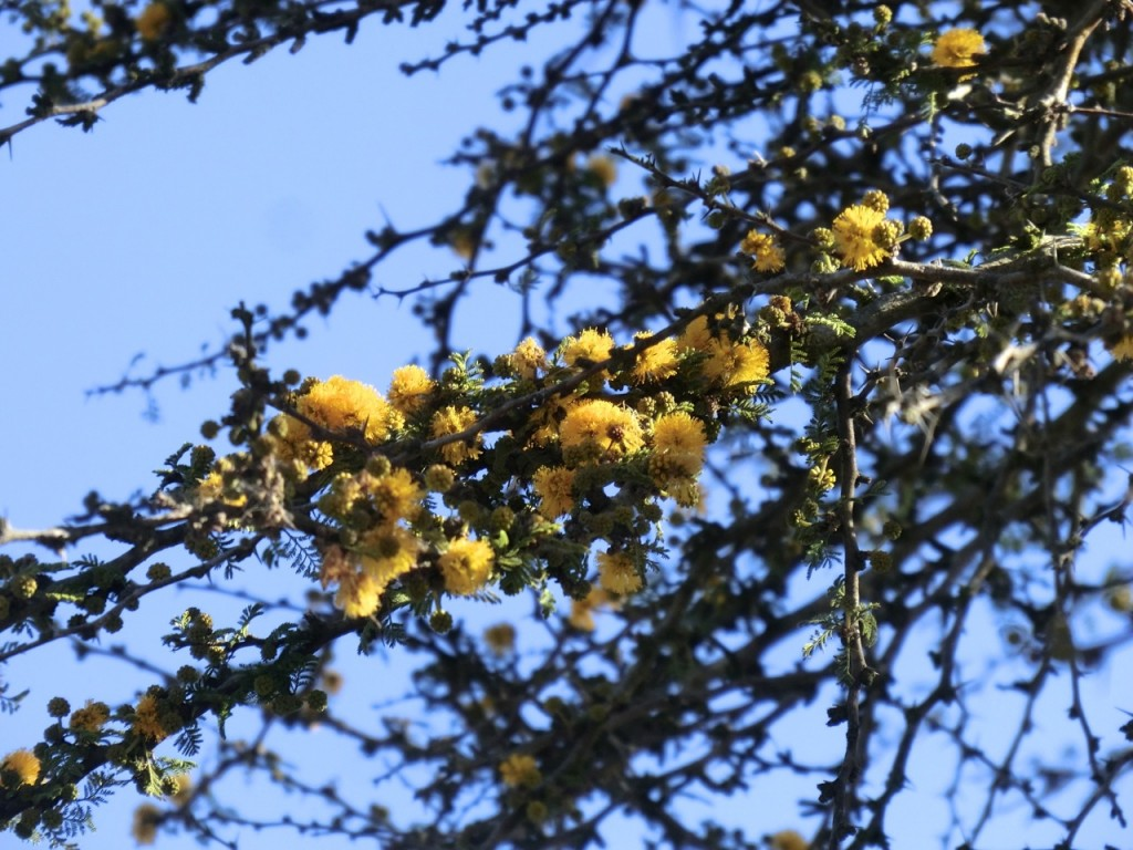 Sweet Acacia = Needle Bush (flower)