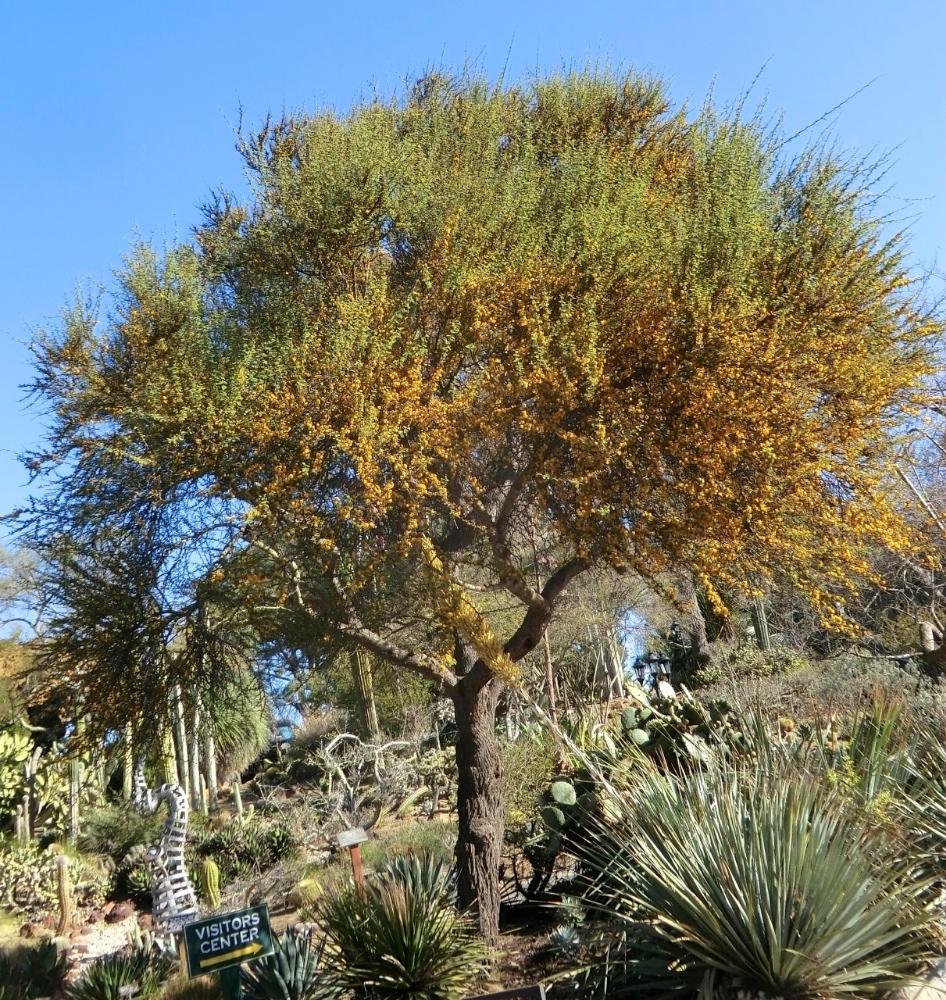 Sweet Acacia = Needle Bush (plant)
