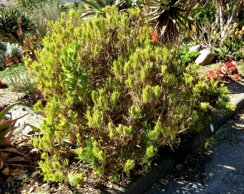 Succulent Bush Senecio (flower)