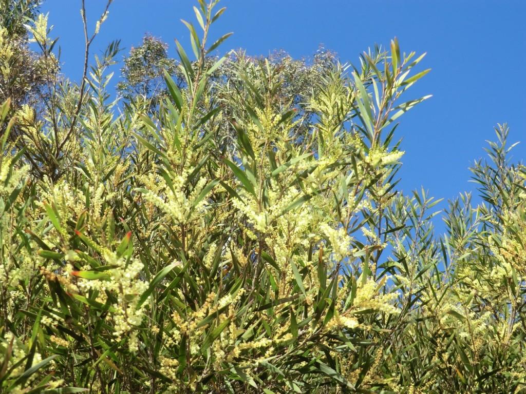 Stringy bark wattle (plant)