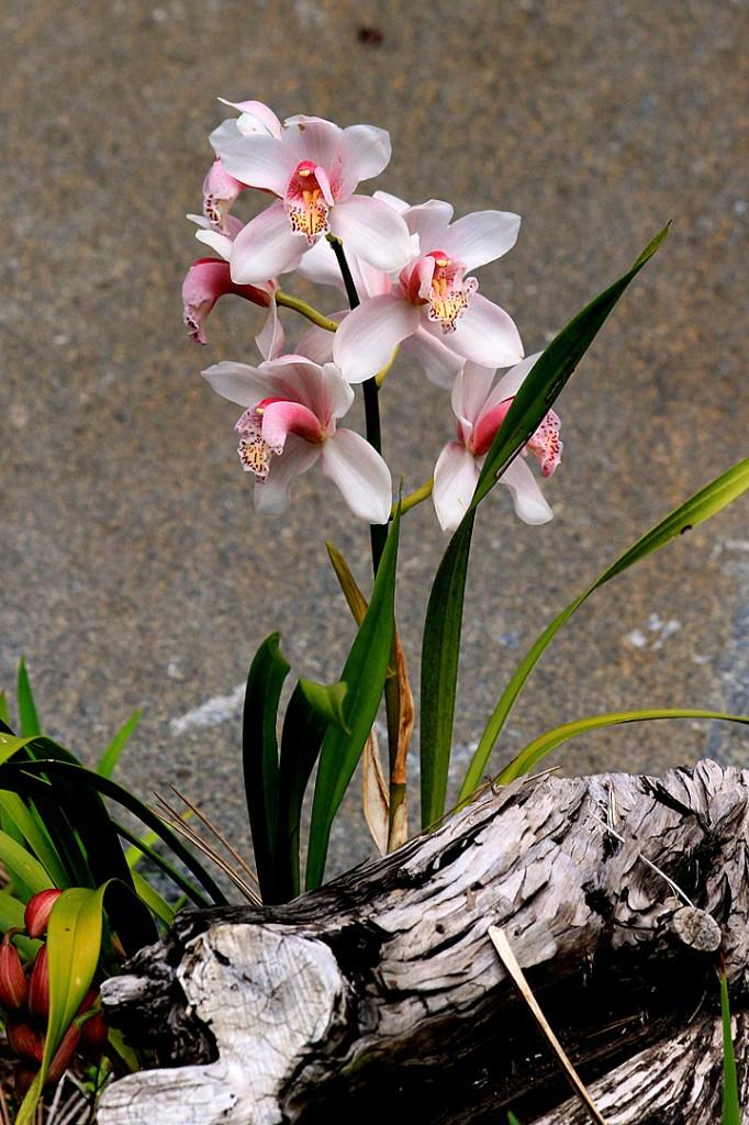 Cymbidium orchid (epiphyte)