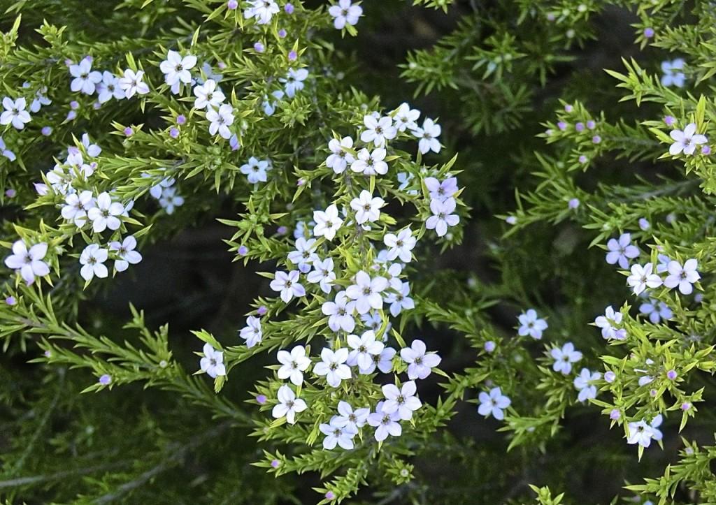 Breath of heaven = confetti bush (flower)