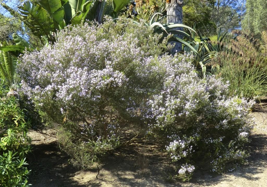 Breath of heaven = confetti bush (plant)