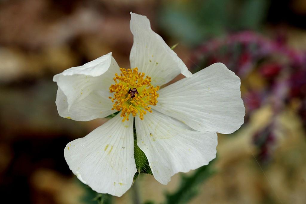 Prickly poppy - Mohave (flower)