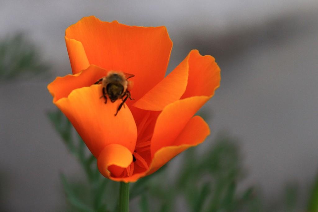 California poppy (flower)