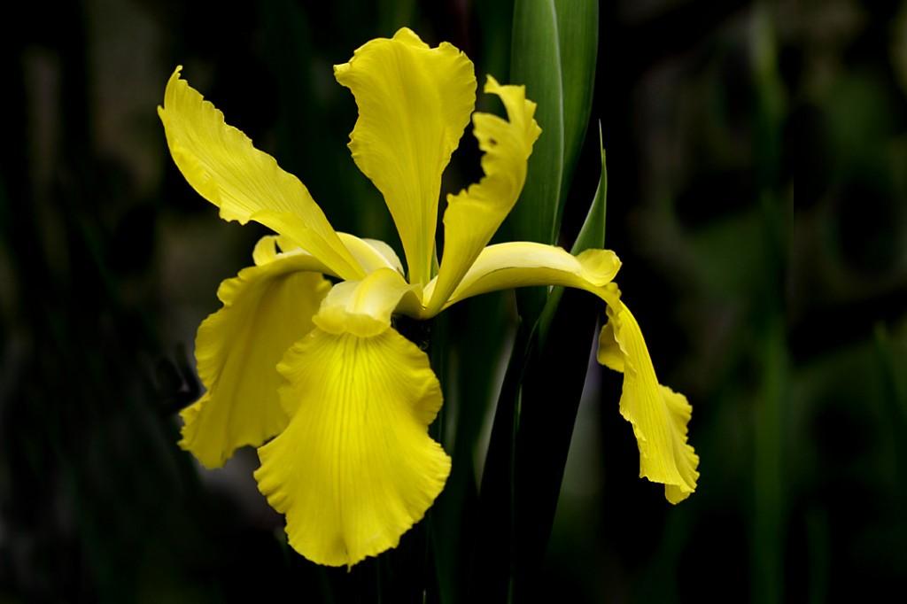 Iris yellow (flower)