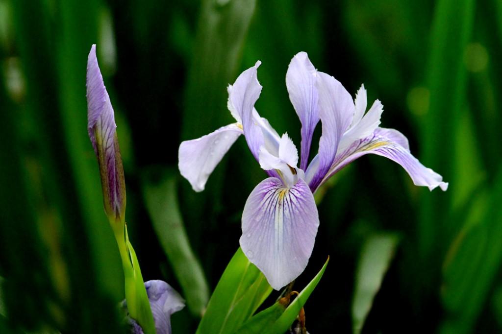 Iris purple (flower)