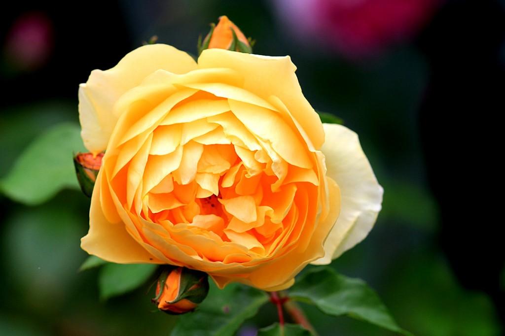 Rose yellow (flower)
