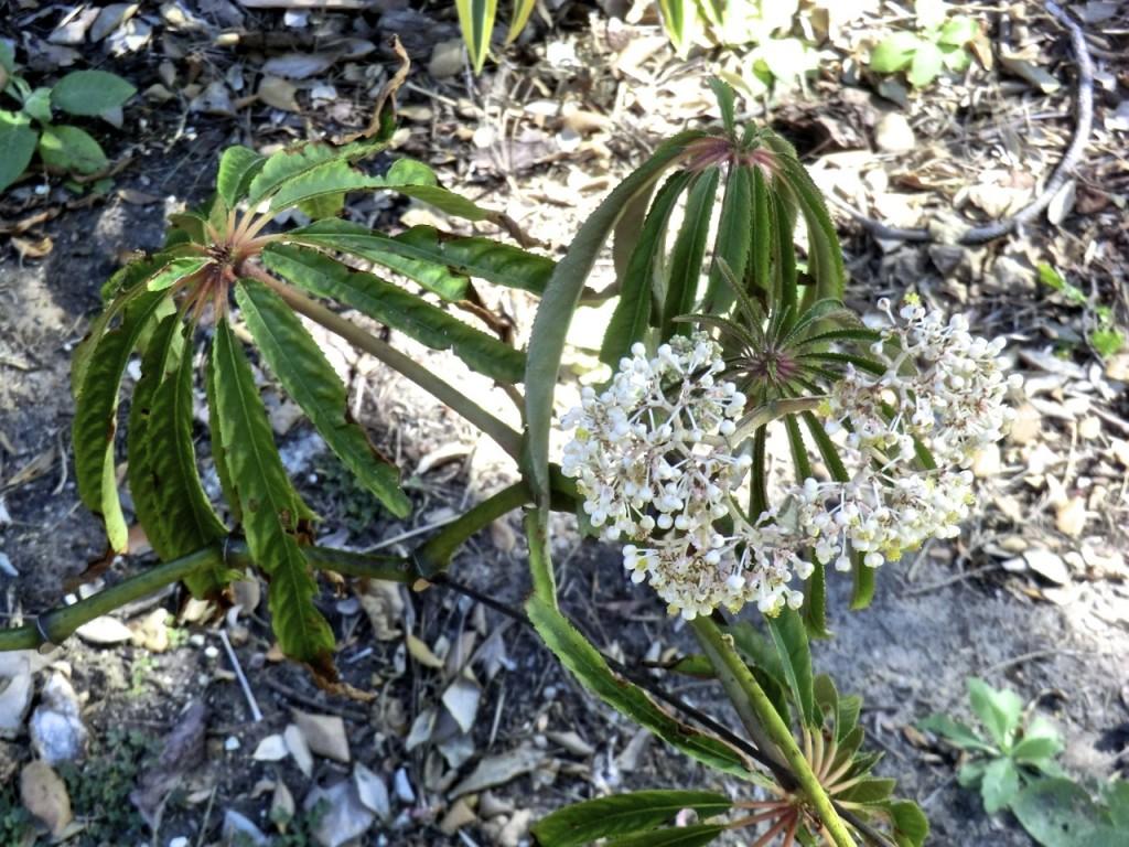 Palm-leaf Begonia (plant)