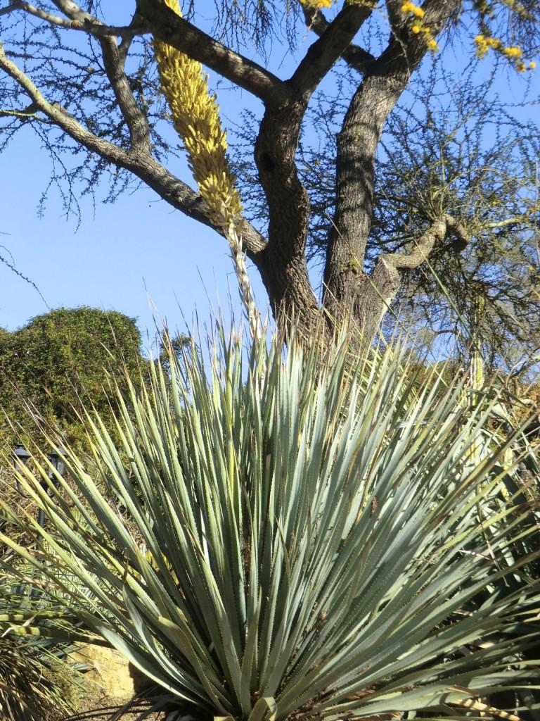 Hidalgo Sotol (plant)