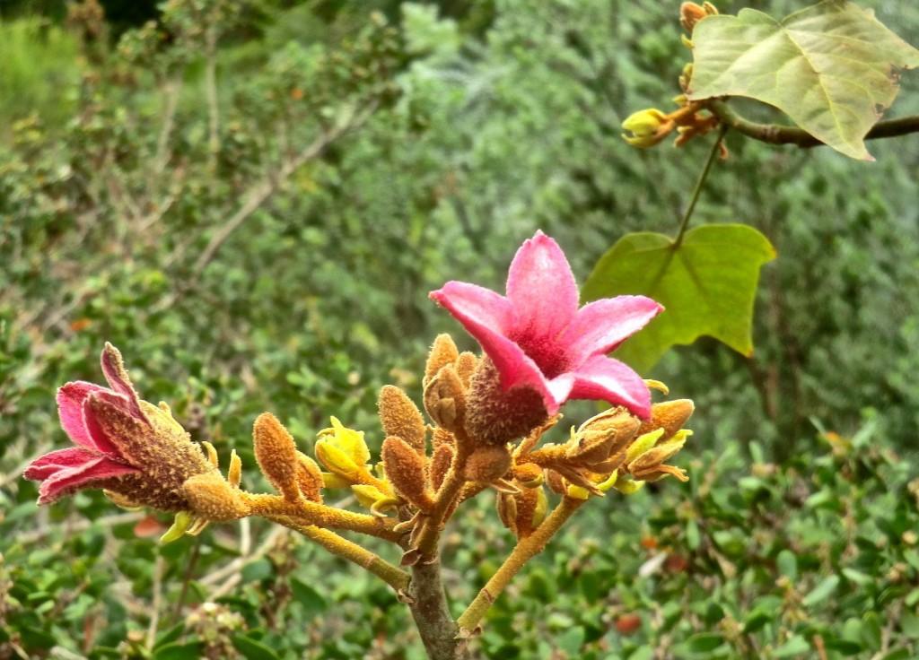 Lacebark Tree (flower)