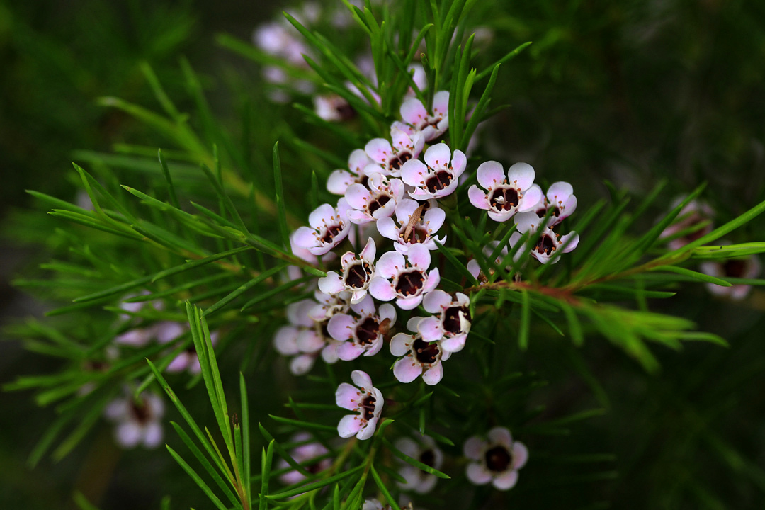 Chamelaucium 'Lady Stephanie'