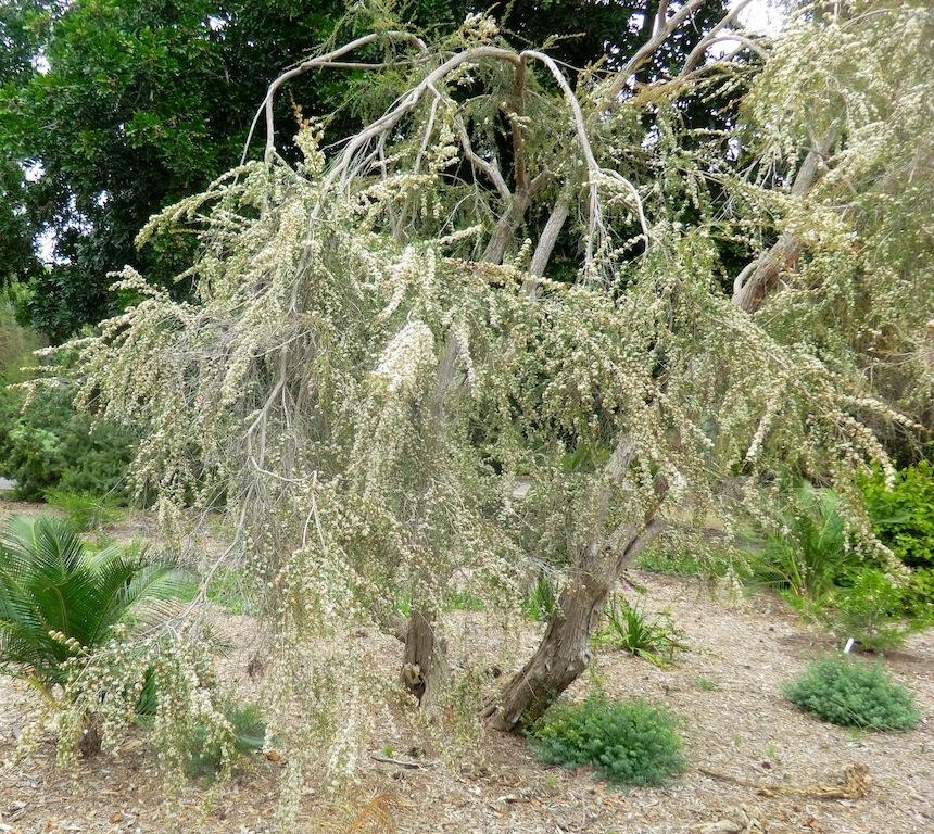 Tea tree  (plant)
