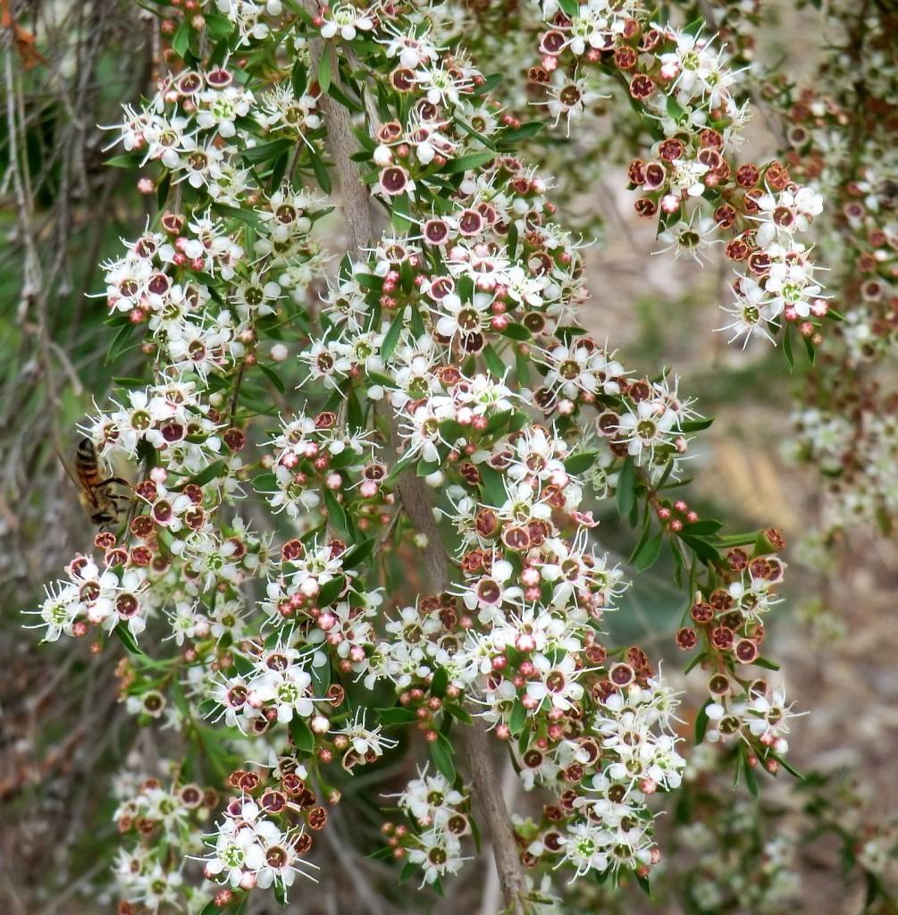 Tea tree (flower)