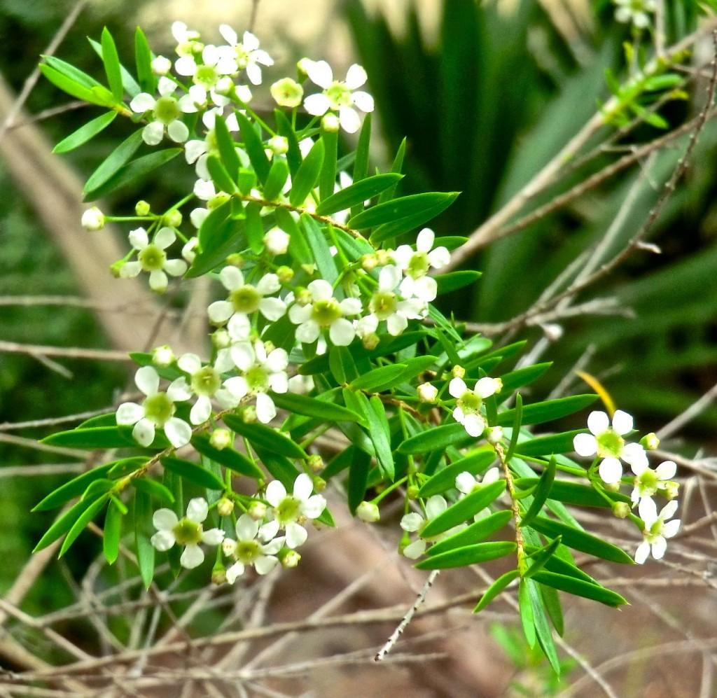 Twiggy heath myrtle (plant)
