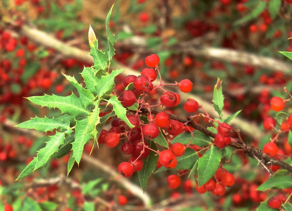 Nevin's barberry (fruit)