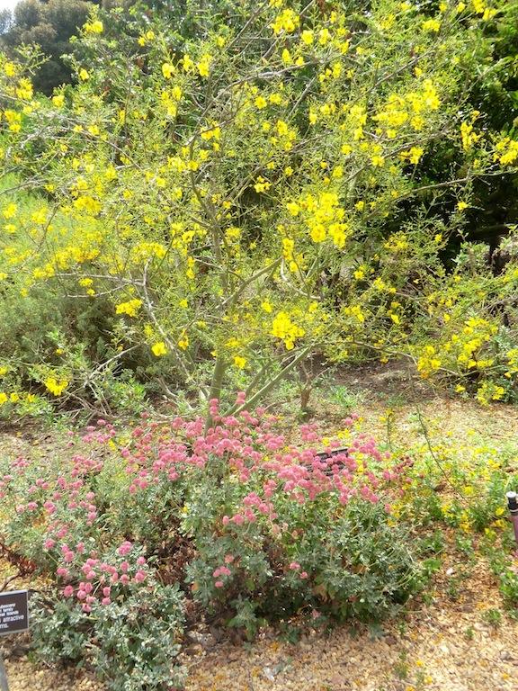 Desert Museum Palo Verde (plant)