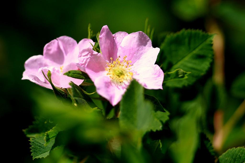 Wild rose (flower)