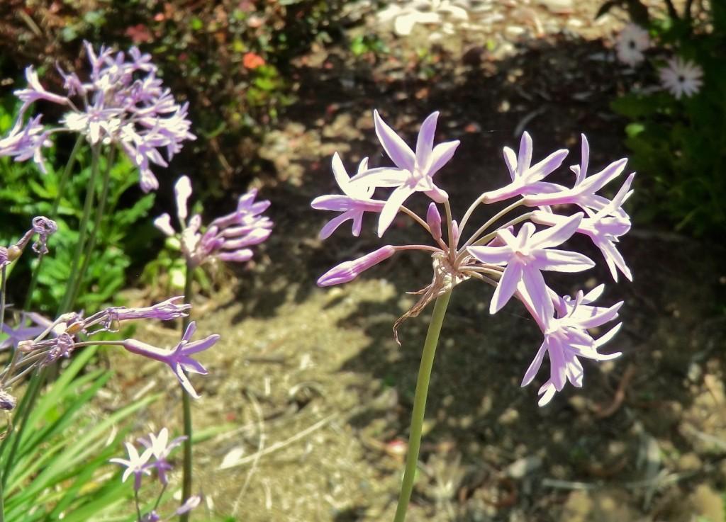 Society garlic (flower)