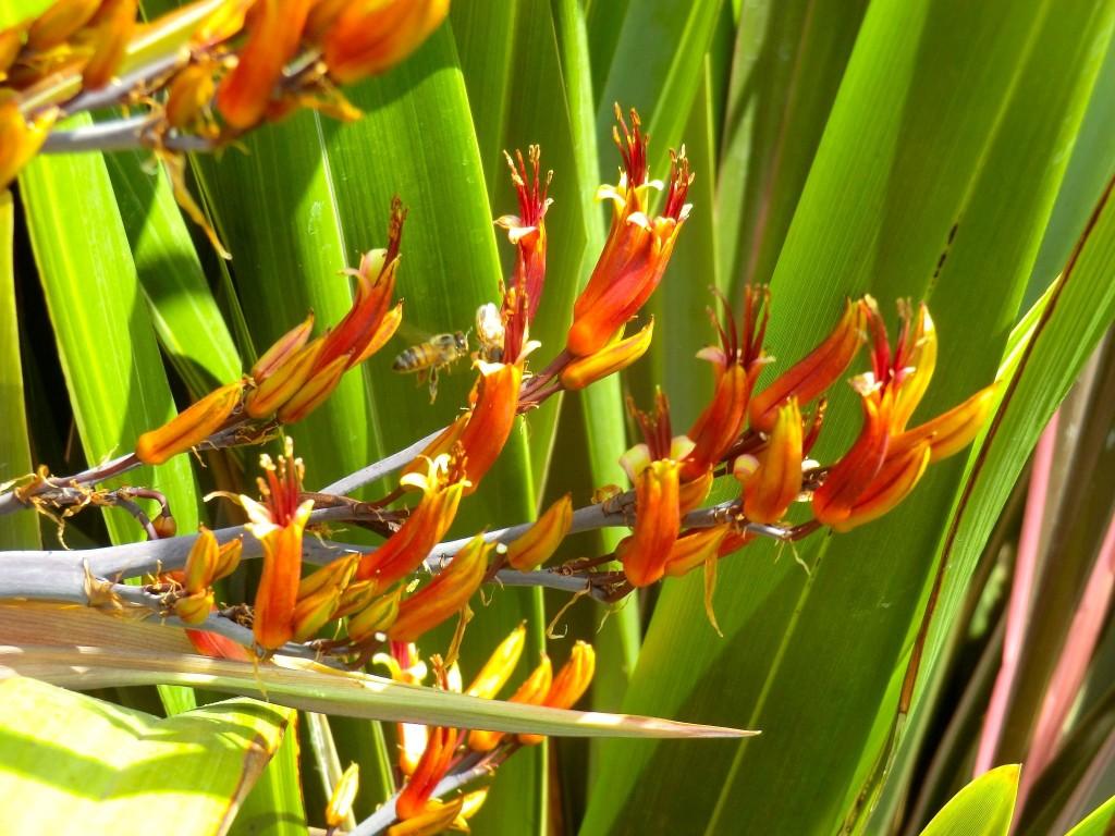New Zealand flax (flower)