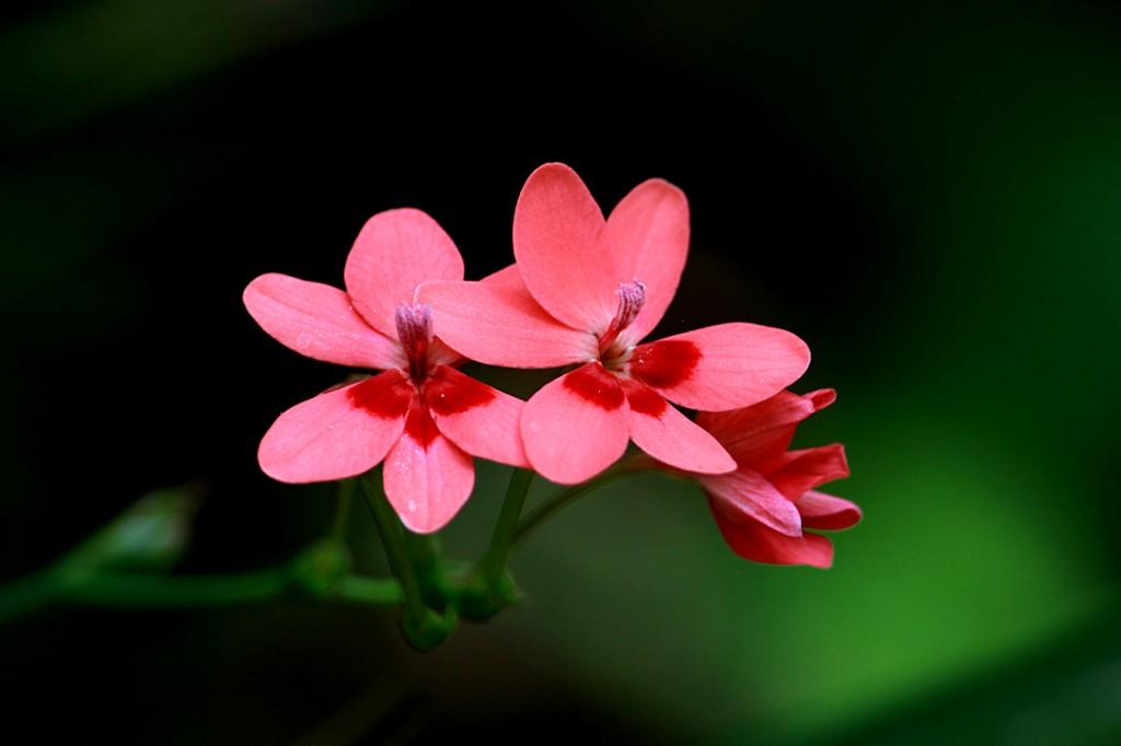 False Freesia (flower)