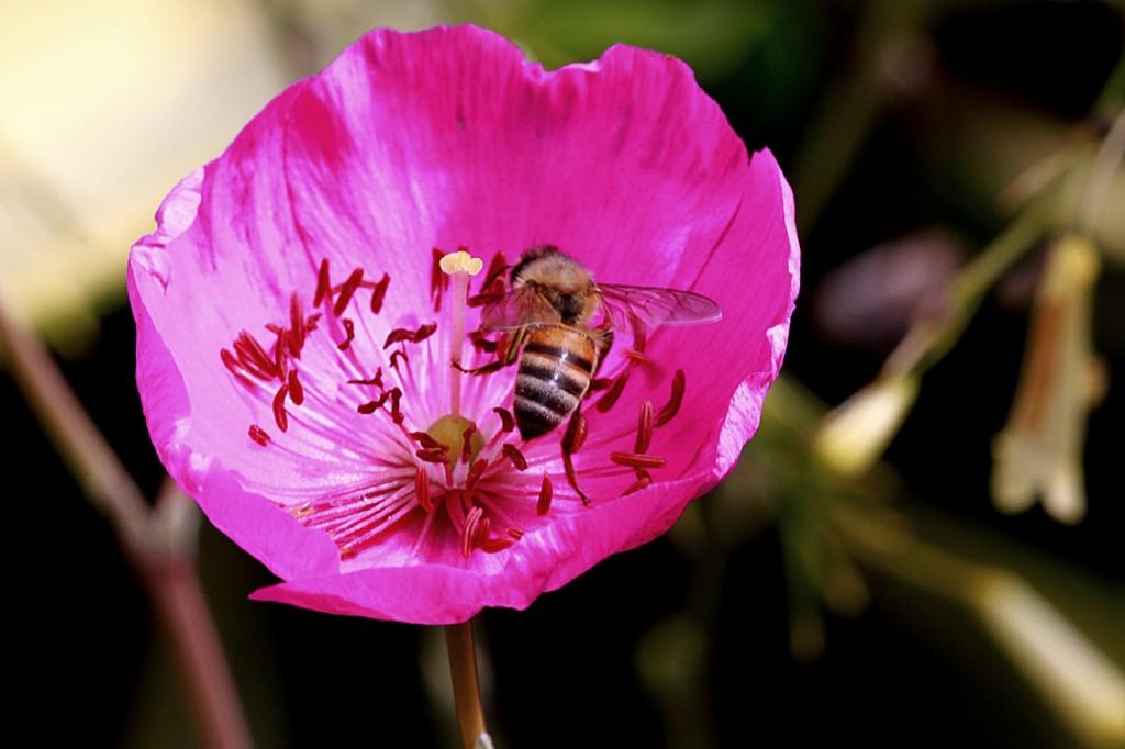 Rock purslane (flower)