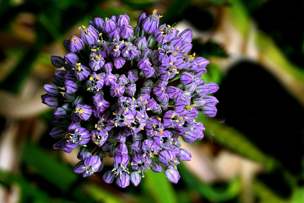 Portuguese squill (flower)