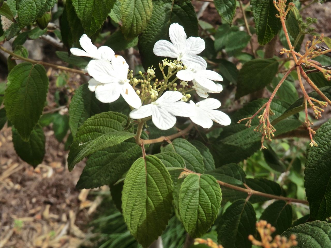 Viburnum tomentosum 'Summer Snowflake'