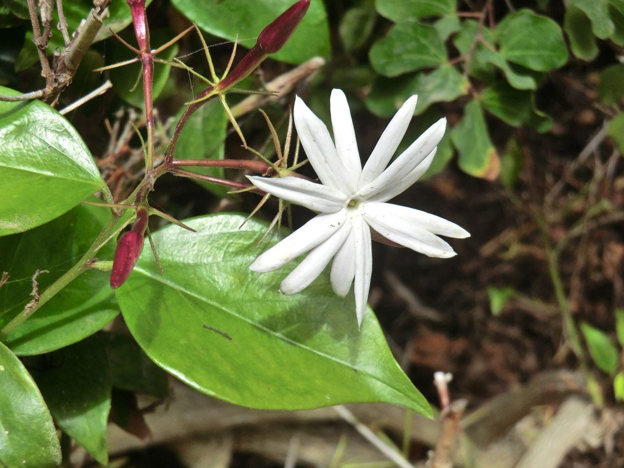 Jasminium nitidum