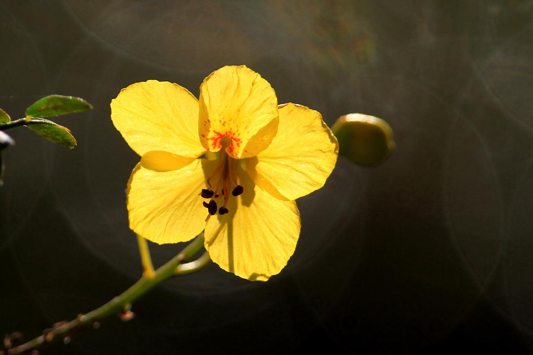 Senna (flower) - Cassia = Senna sp.