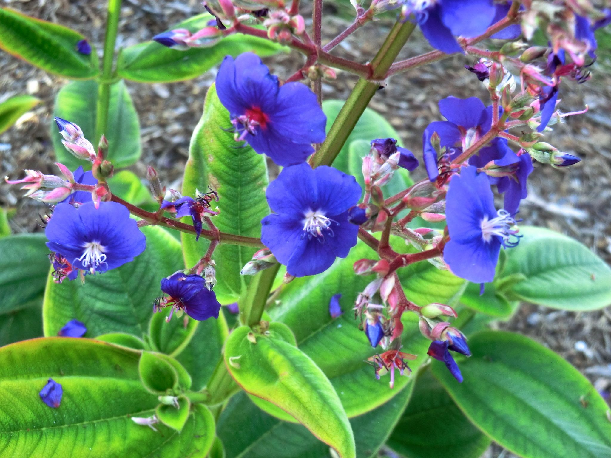 Tibouchina sp.