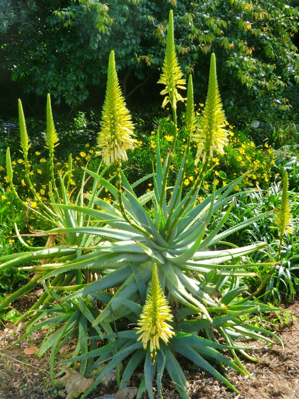 Aloe 'Yellow Torch'	Aloe - Yellow Torch (whole plant)