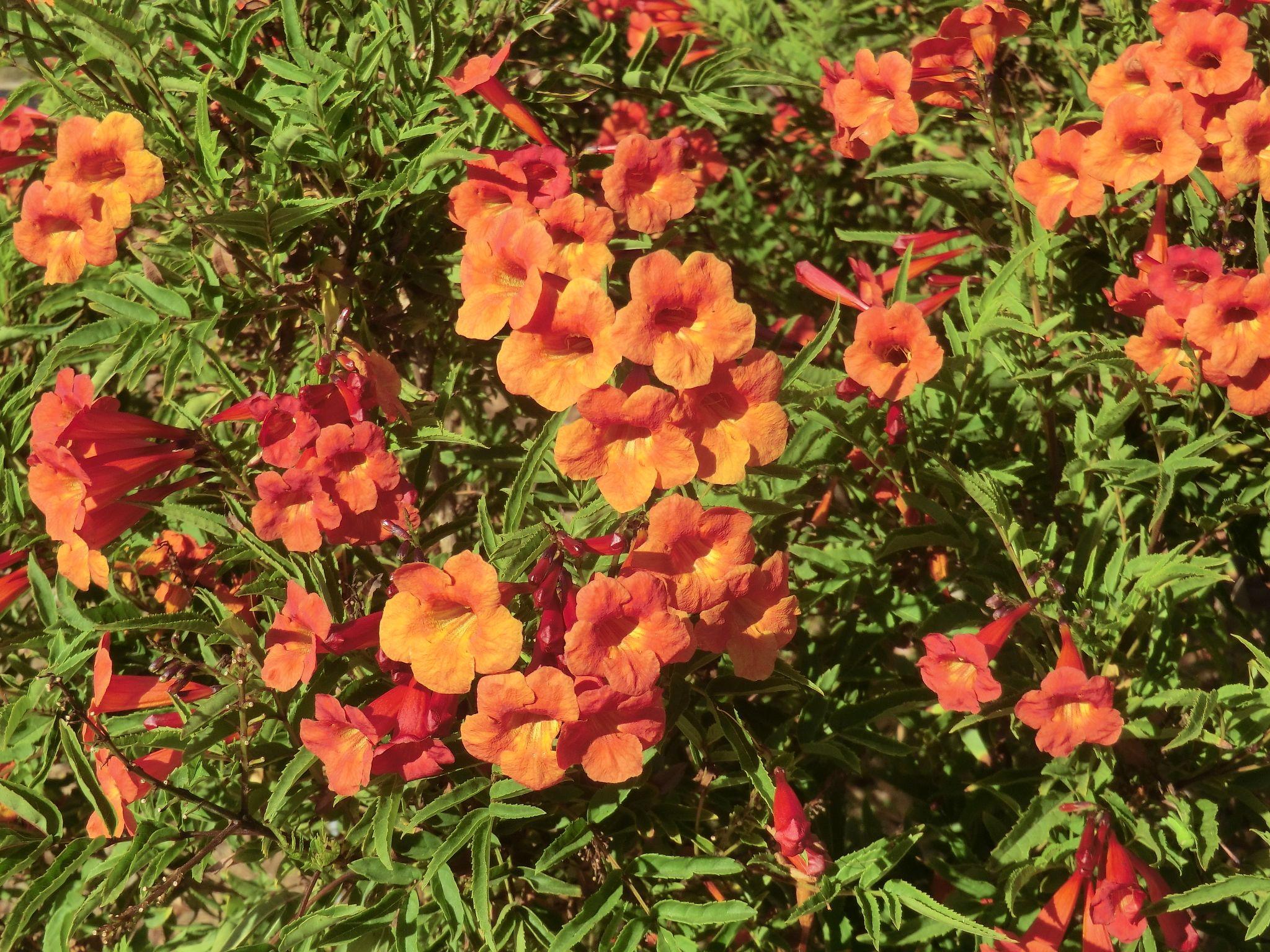 Tecoma 'Crimson Flare'