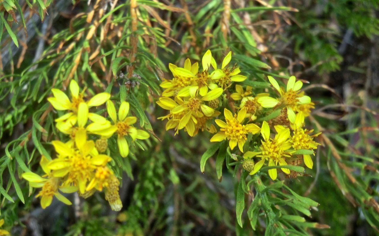 Ericameria laricifolia 'Aguirre'