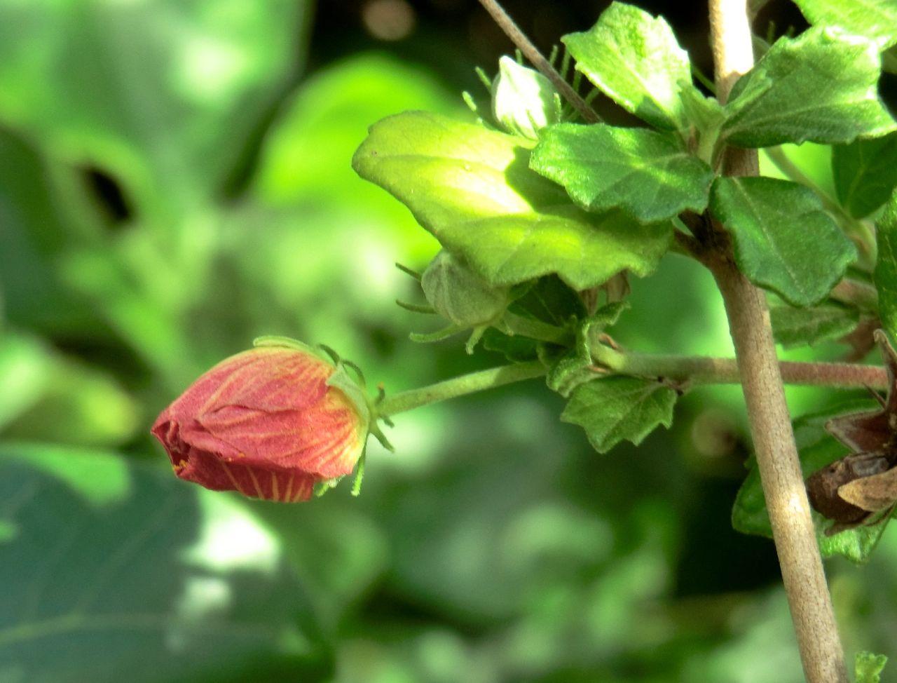 Pavonia praemorsa