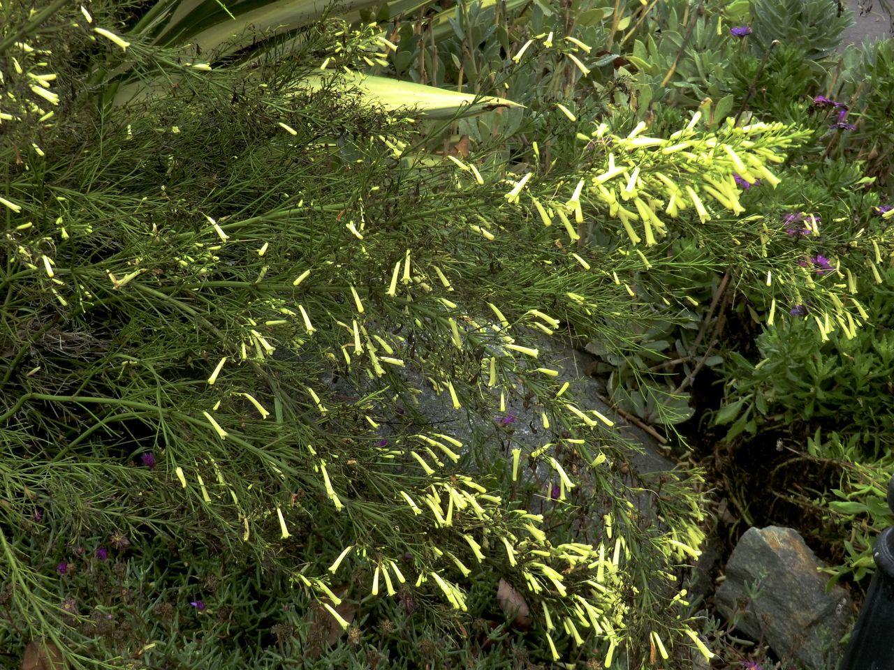 Russelia equisetiformis lutea