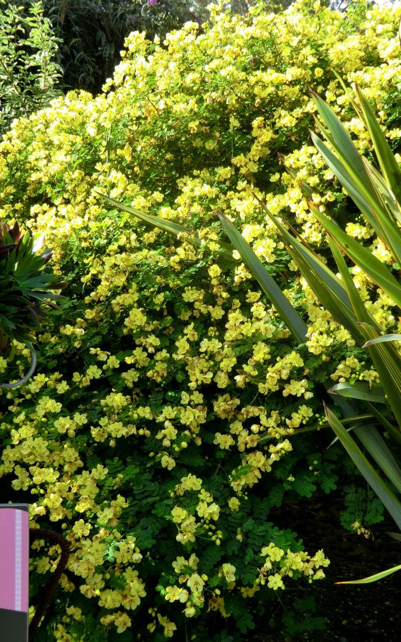 Christmas Bush = Cassia (whole plant) - Cassia = Senna bicapsularis