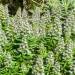 Echium - Blue Shrub (flower) thumbnail