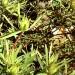 Conebush - Stream  (plant) thumbnail