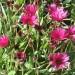 African daisy (flower) thumbnail