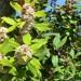 Poison bush (flower) thumbnail