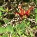 Ruttya fruiticosa thumbnail